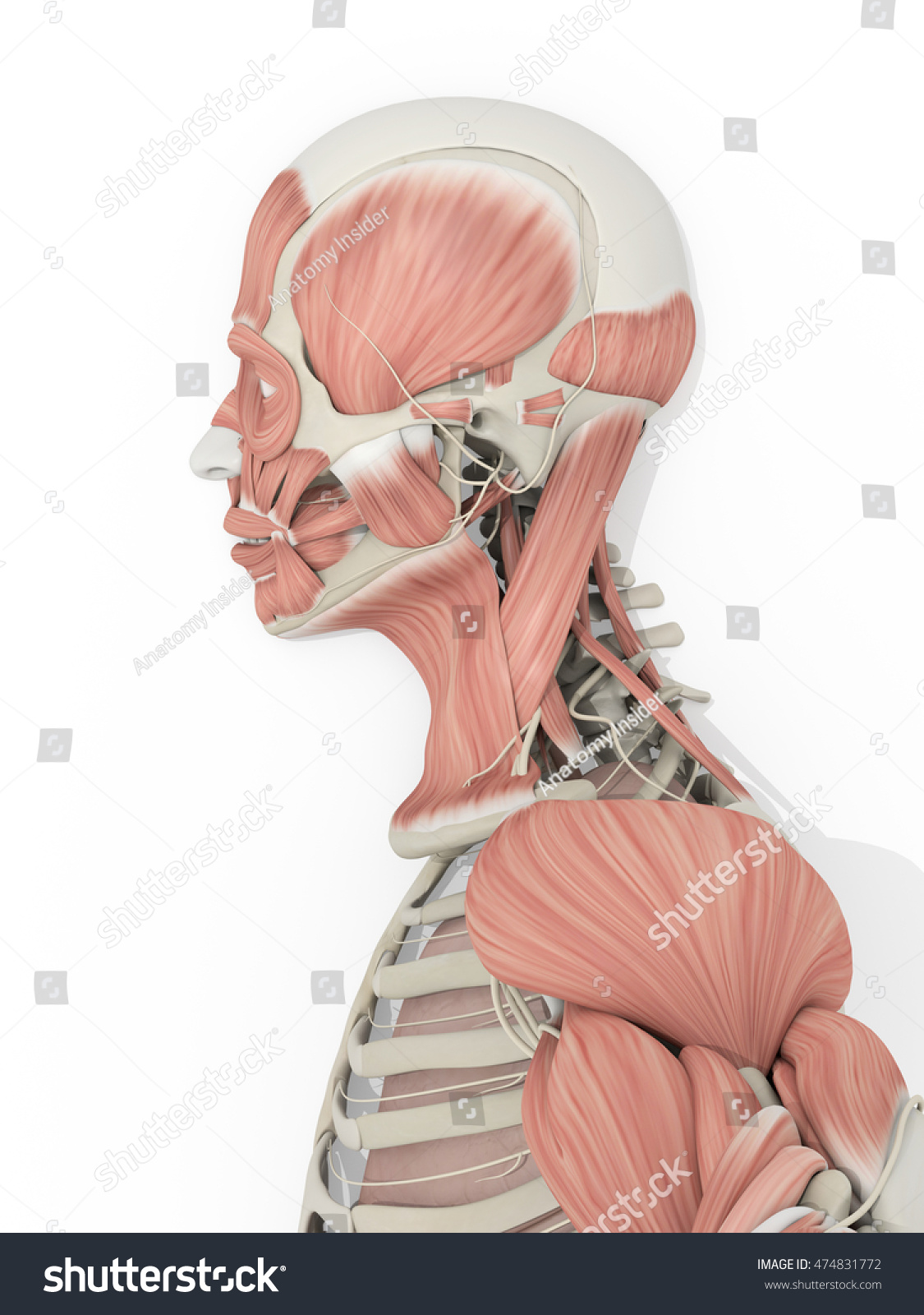 Human Anatomy Detail Head Muscles Medical Stock Illustration