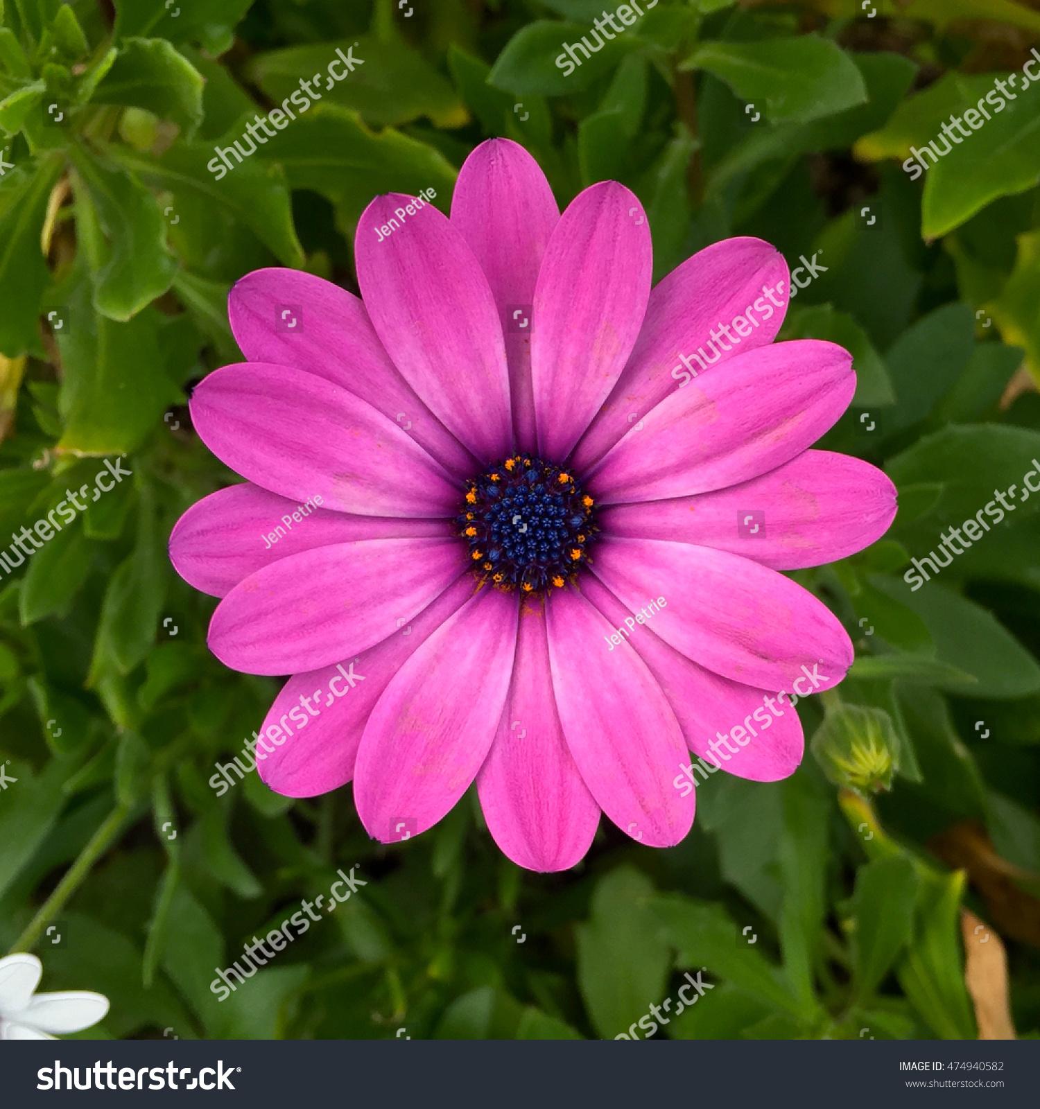 Macro View Purple Daisy Flower Detail Stock Photo Edit Now