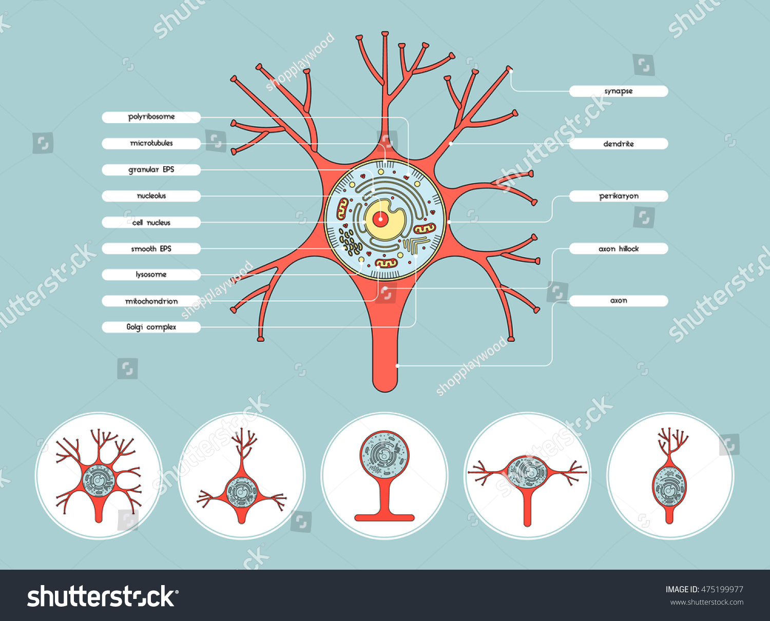 Isolated neurone cell biology diagram axon stock vector royalty isolated neurone cell biology diagram axon cell body anatomy structure vector illustration with description ccuart Choice Image
