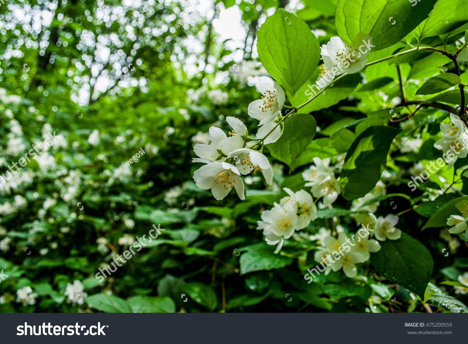 A Blooming Jasmine Bush With White Flowers Background Of Little