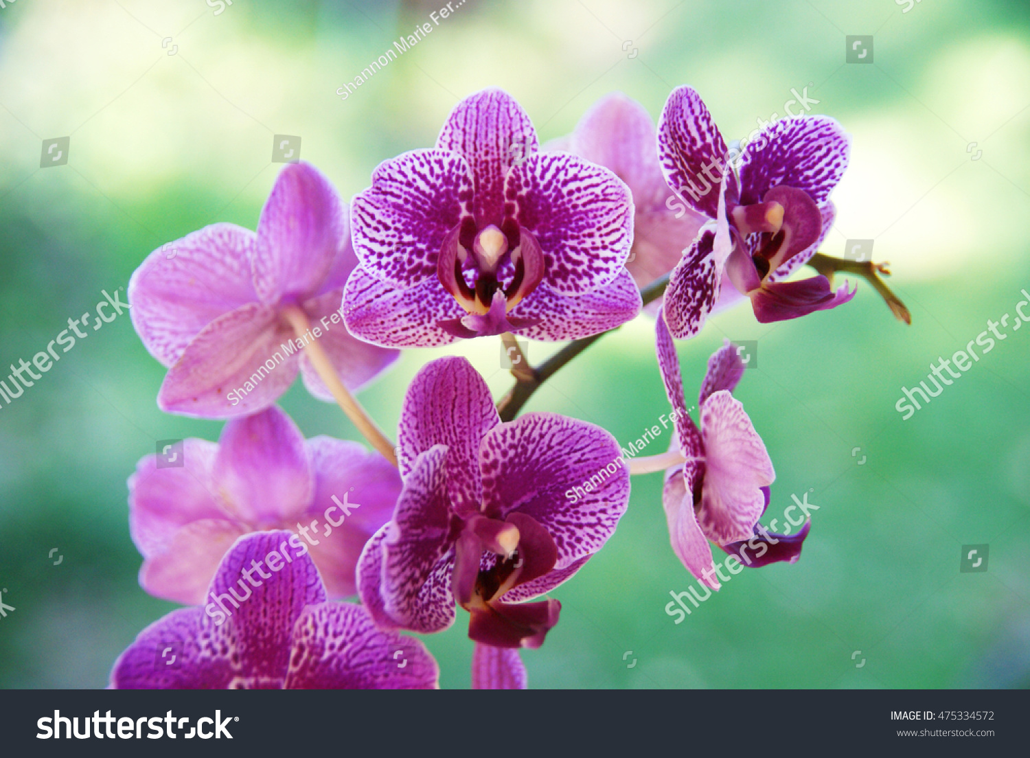 Small delicate betilla orchid house plant stock photo download now small delicate betilla orchid house plant mightylinksfo