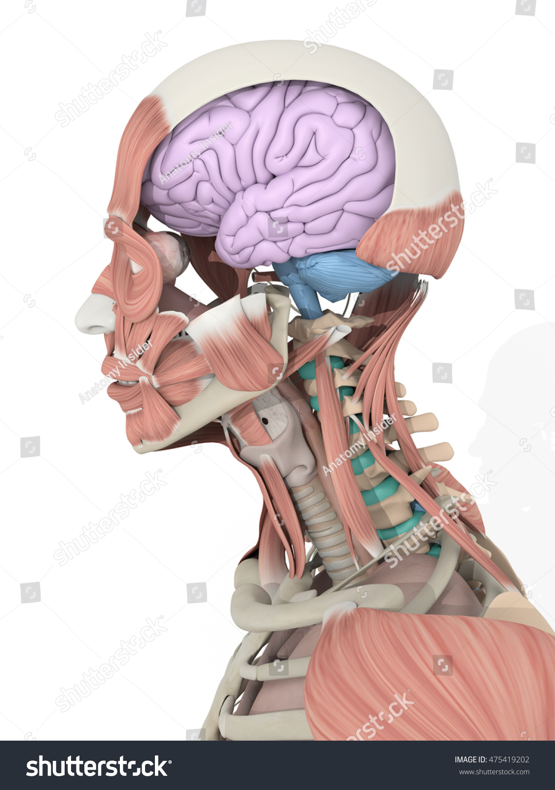 Human Anatomy Detail Brain Inside Head Stock Illustration 475419202 ...