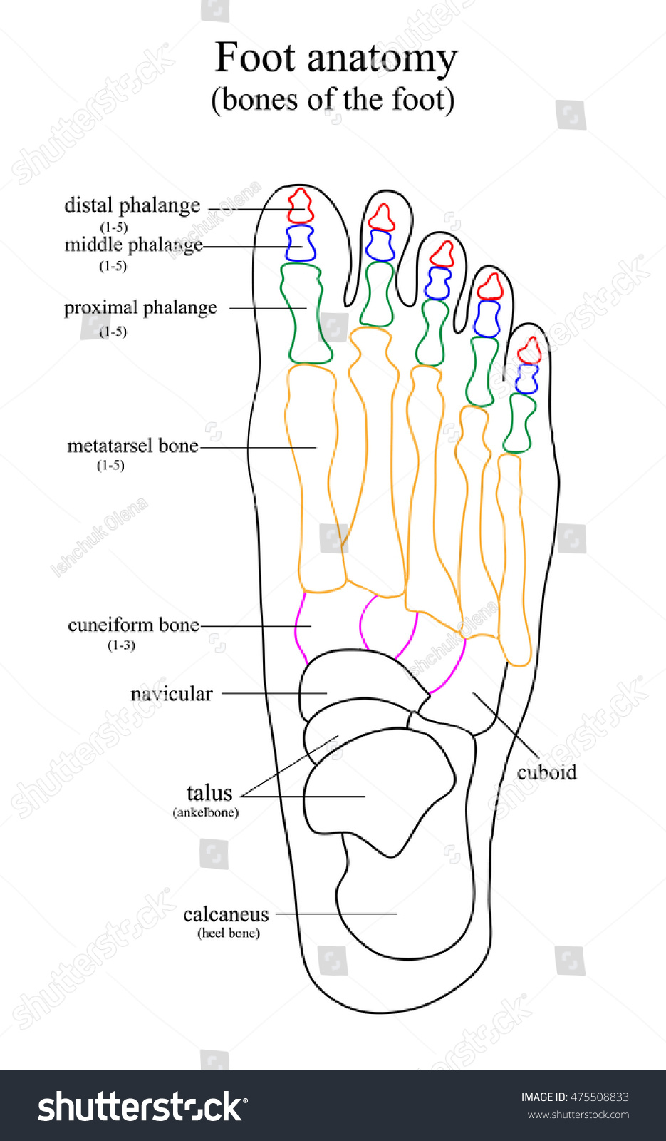 Foot Anatomy List All Bones Foot Stock Illustration 475508833 ...