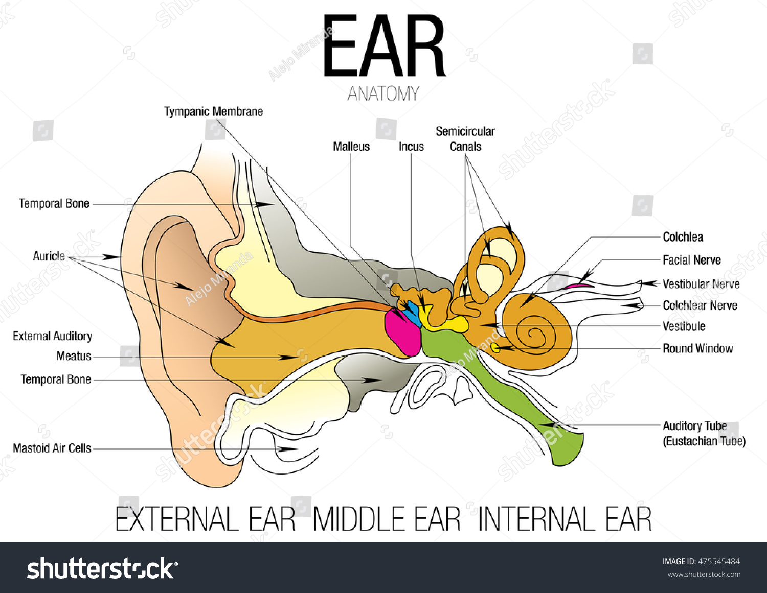 Ear Anatomy Parts Name Stock Vektorgrafik Lizenzfrei 475545484