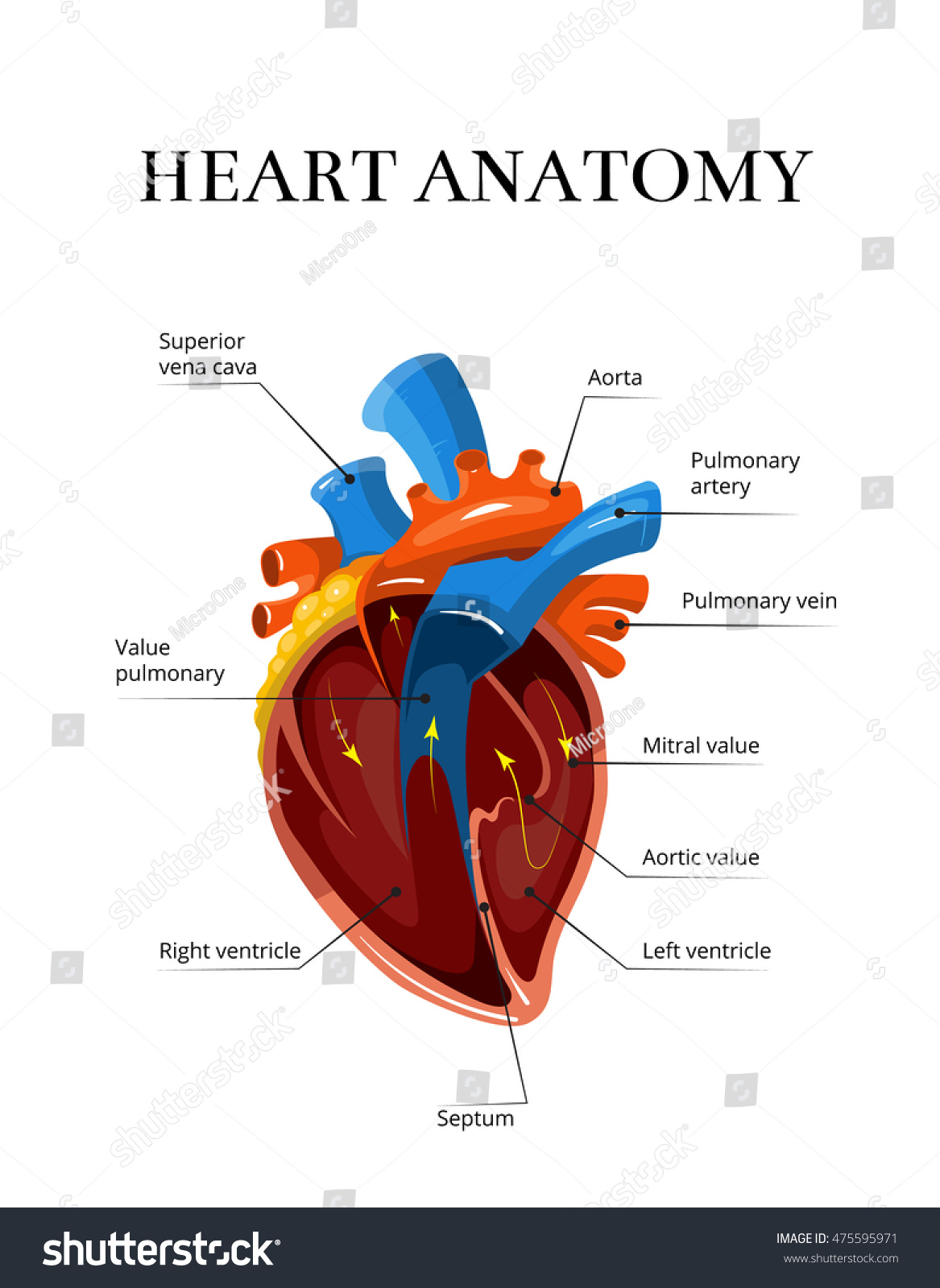 Heart Sectional Anatomy Vector Cardiological Illustration Stock ...