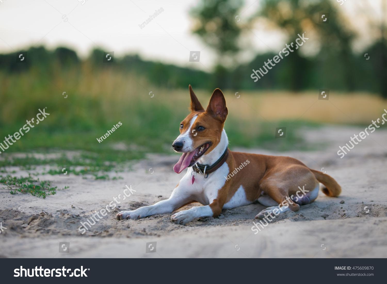 Basenji Dog Walking Park Portrait Dog ...