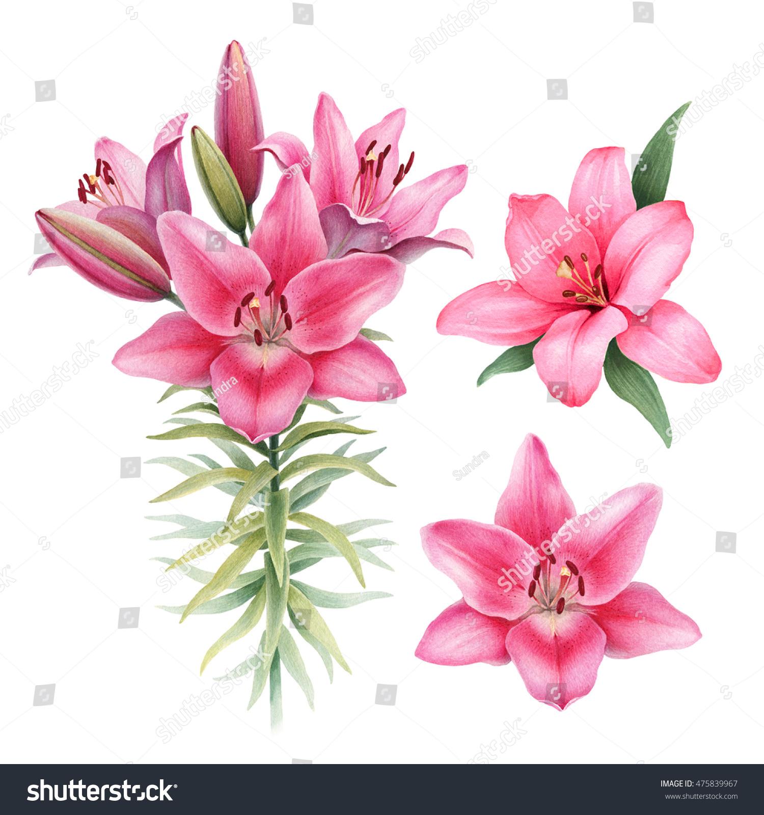 Watercolor illustrations lily flowers stock illustration 475839967 watercolor illustrations of lily flowers izmirmasajfo