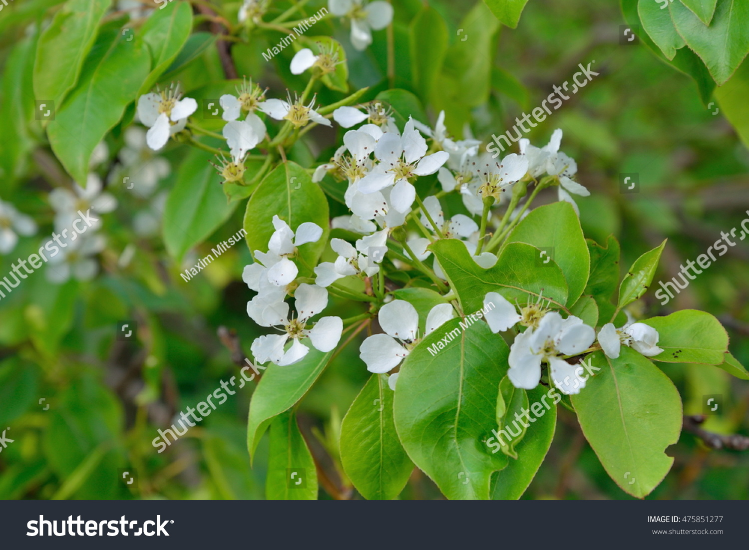 Gardenias Cape Jasmine Fragrant White Flowers In Thailand Ez Canvas
