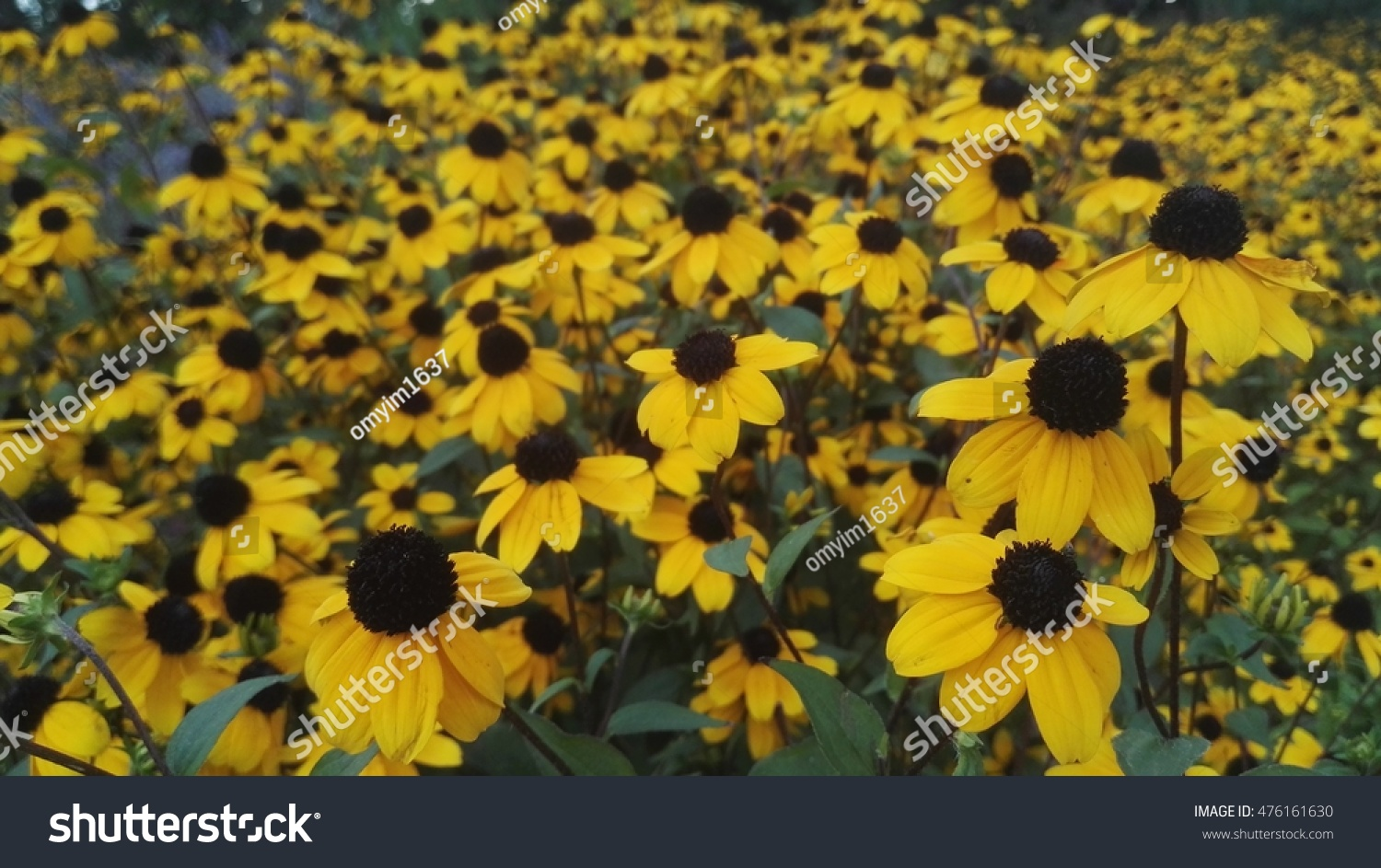 Lot Of Yellow Flower With Black Pollen Center In The Little Garden