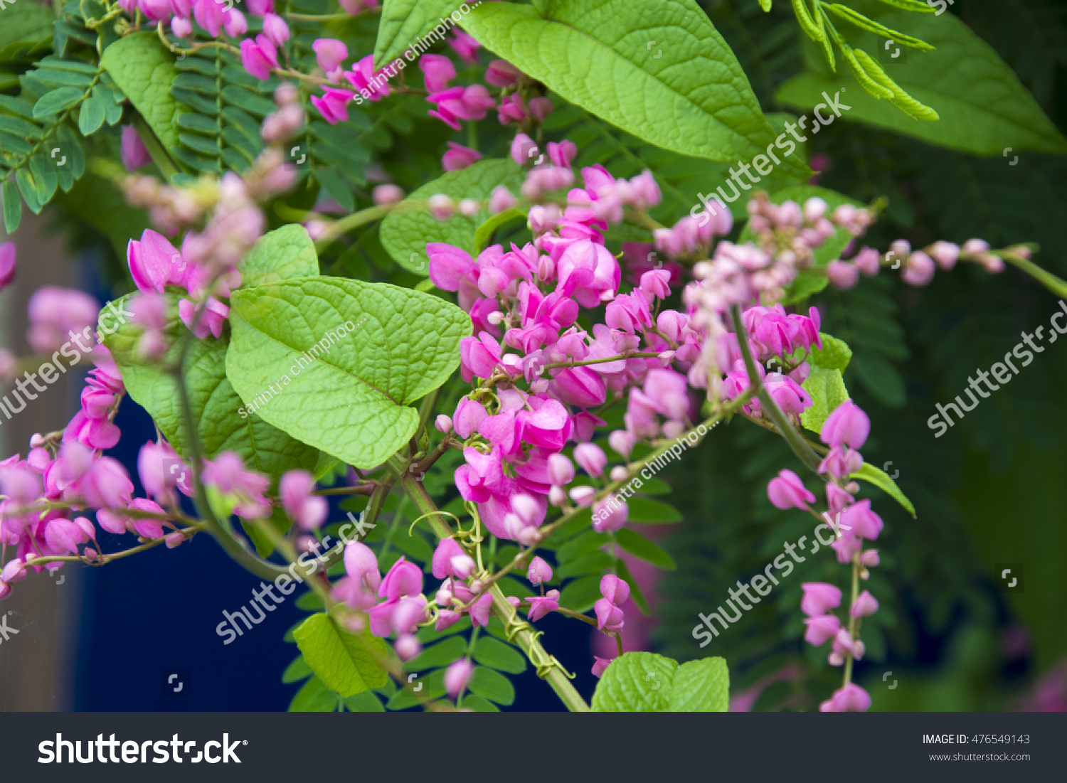Mexican Creeper Pink Vine Flowering Tree Stock Photo Royalty Free