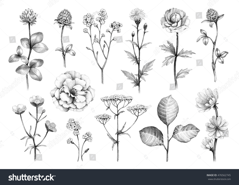 Pencil drawings of wild flowers
