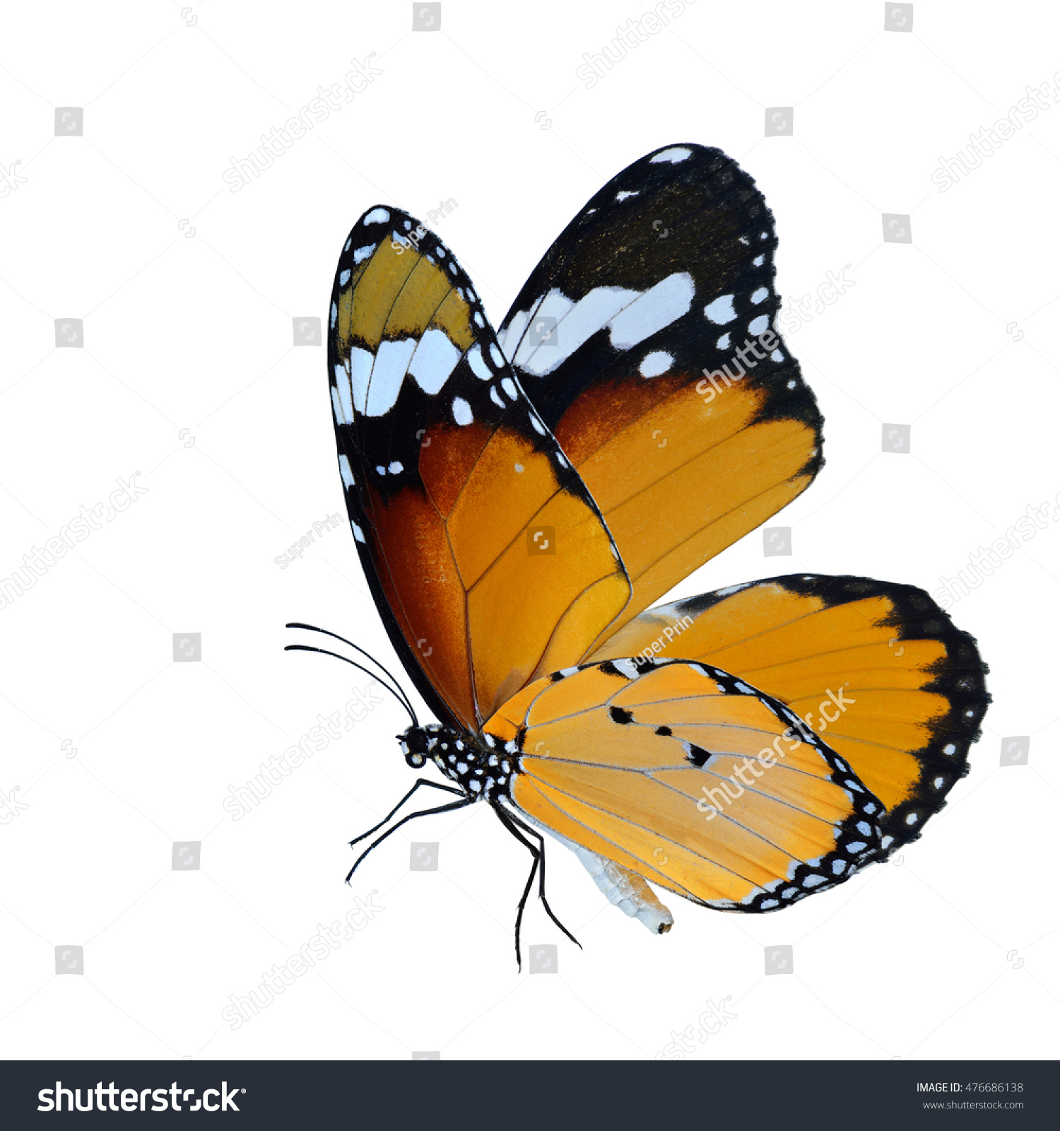 Beautiful Flying Butterfly Plain Tiger Butterfly Foto de stock ...