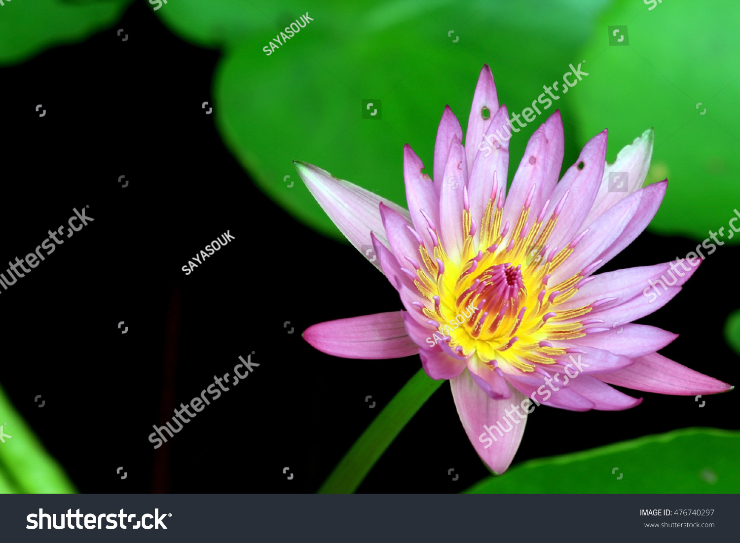 Lotus Flower Closed Background Texture Backdrop Stock Photo Royalty