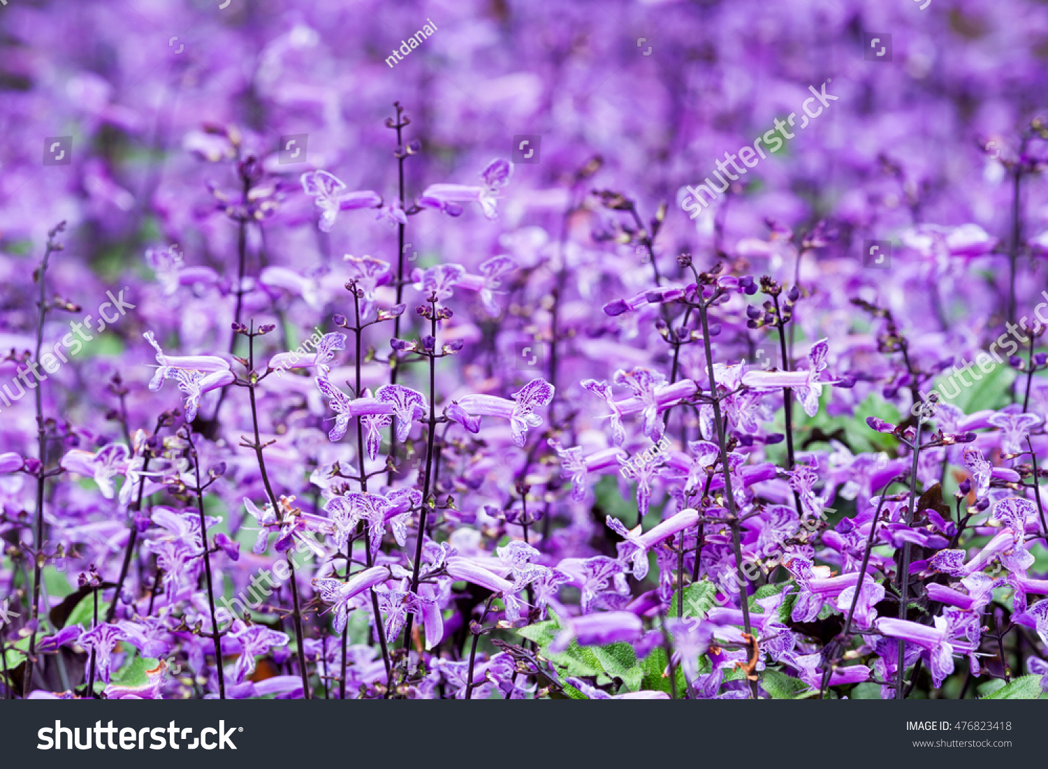 Many Small Purple White Flowers Blooming Stock Photo Edit Now
