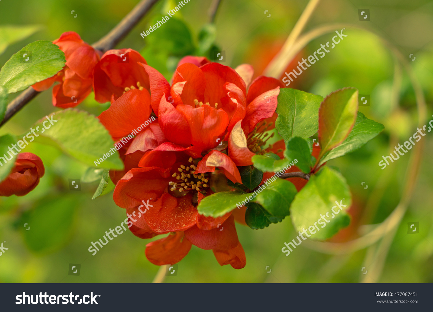 Japan quince red orange flowers green stock photo 477087451 the japan quince red orange flowers and green leaves at spring day with the blurry flowers biocorpaavc Image collections
