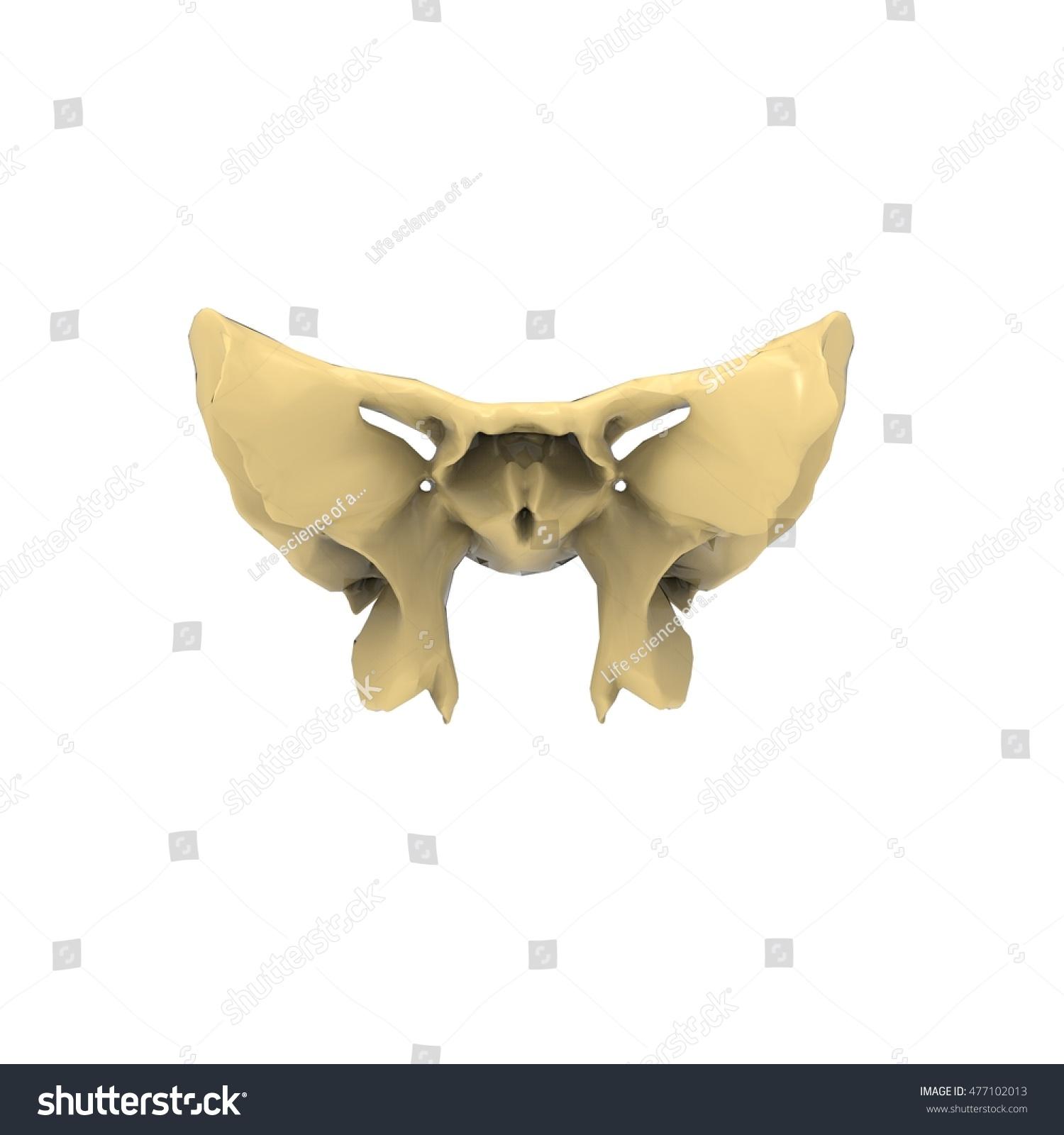 Male Sphenoid Skull Anatomy 3 D Stock Illustration 477102013 ...