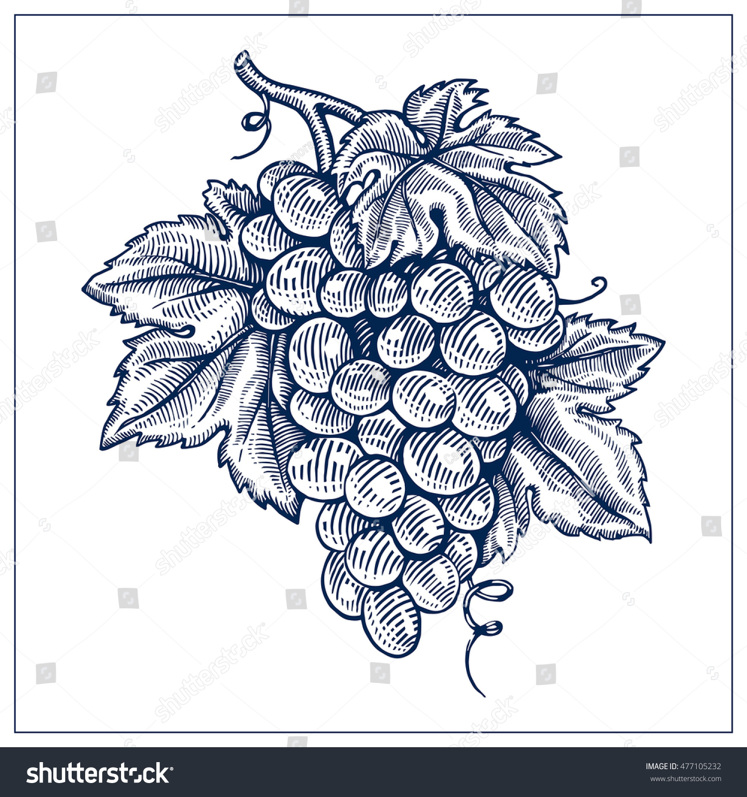 grapes drawing ink blue line vector stock vector 477105232