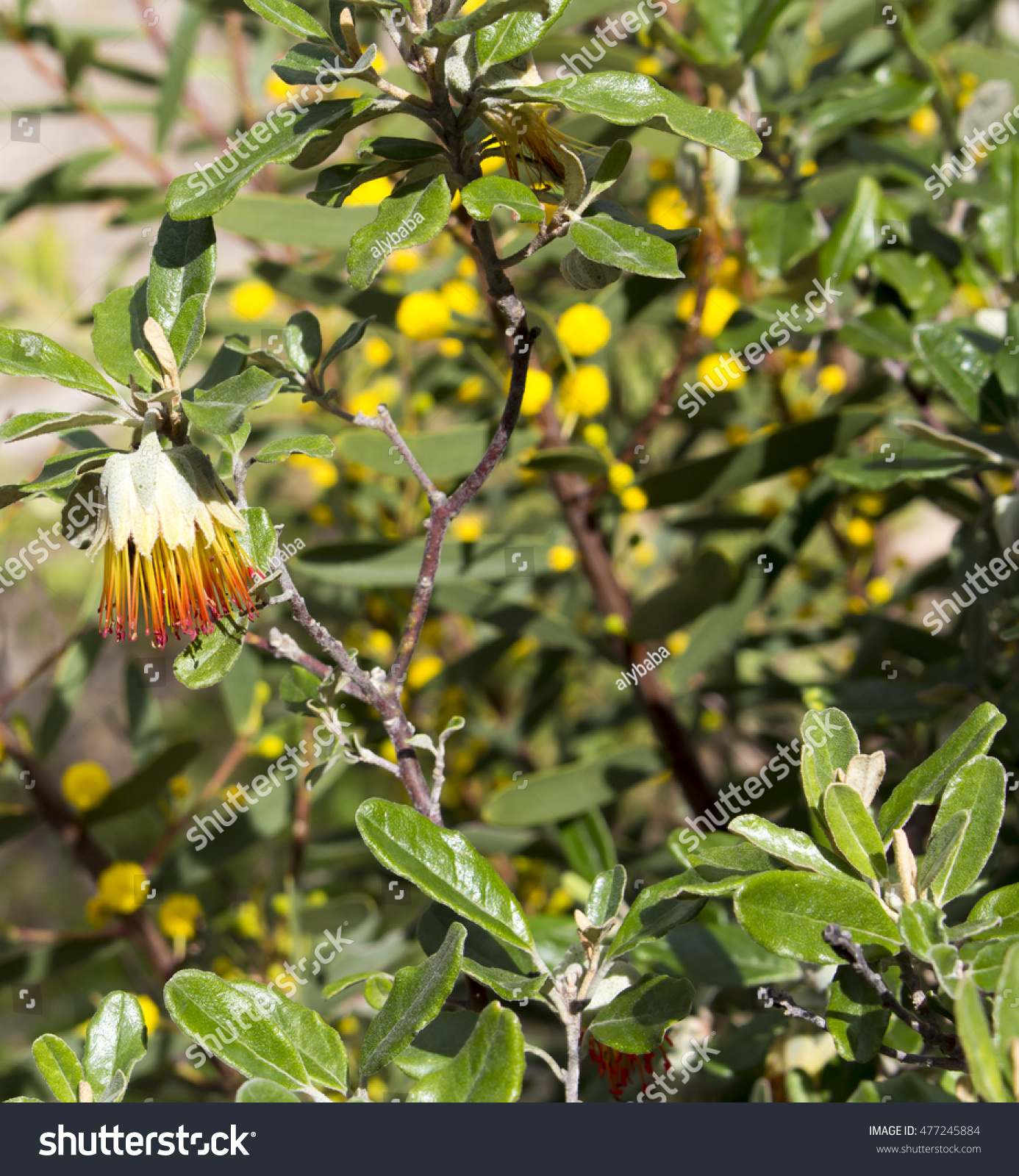 Dainty Orange Bell Shaped Flowers West Stock Photo Edit Now