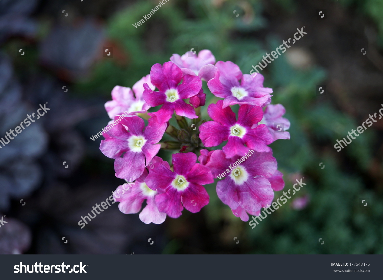 Inflorescence Small Purple Flowers On Plant Stock Photo Edit Now