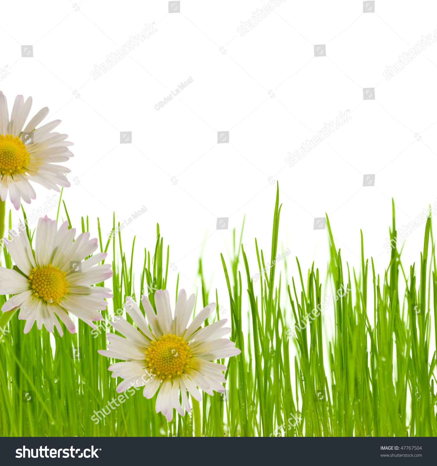Royalty Free Three White And Yellow Flowers And A 47767504 Stock