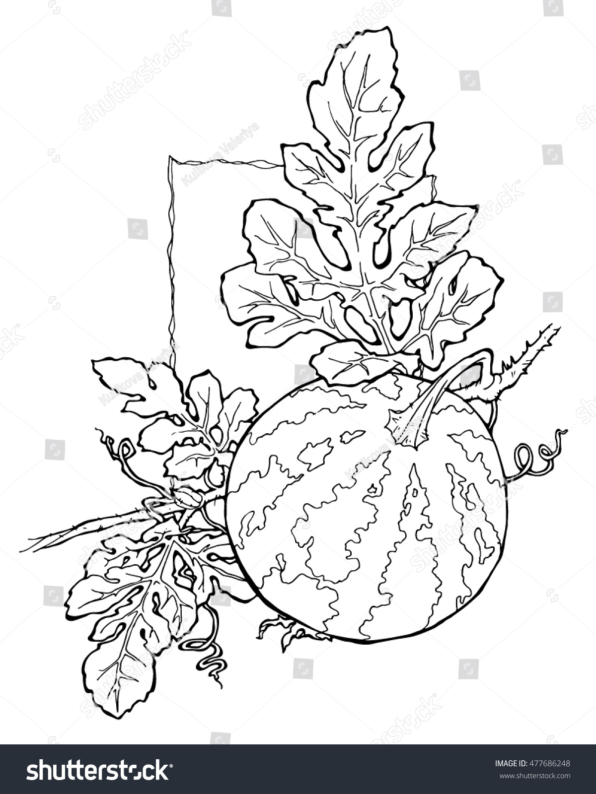 Watermelon Coloring Page Stock Vector Royalty Free 477686248