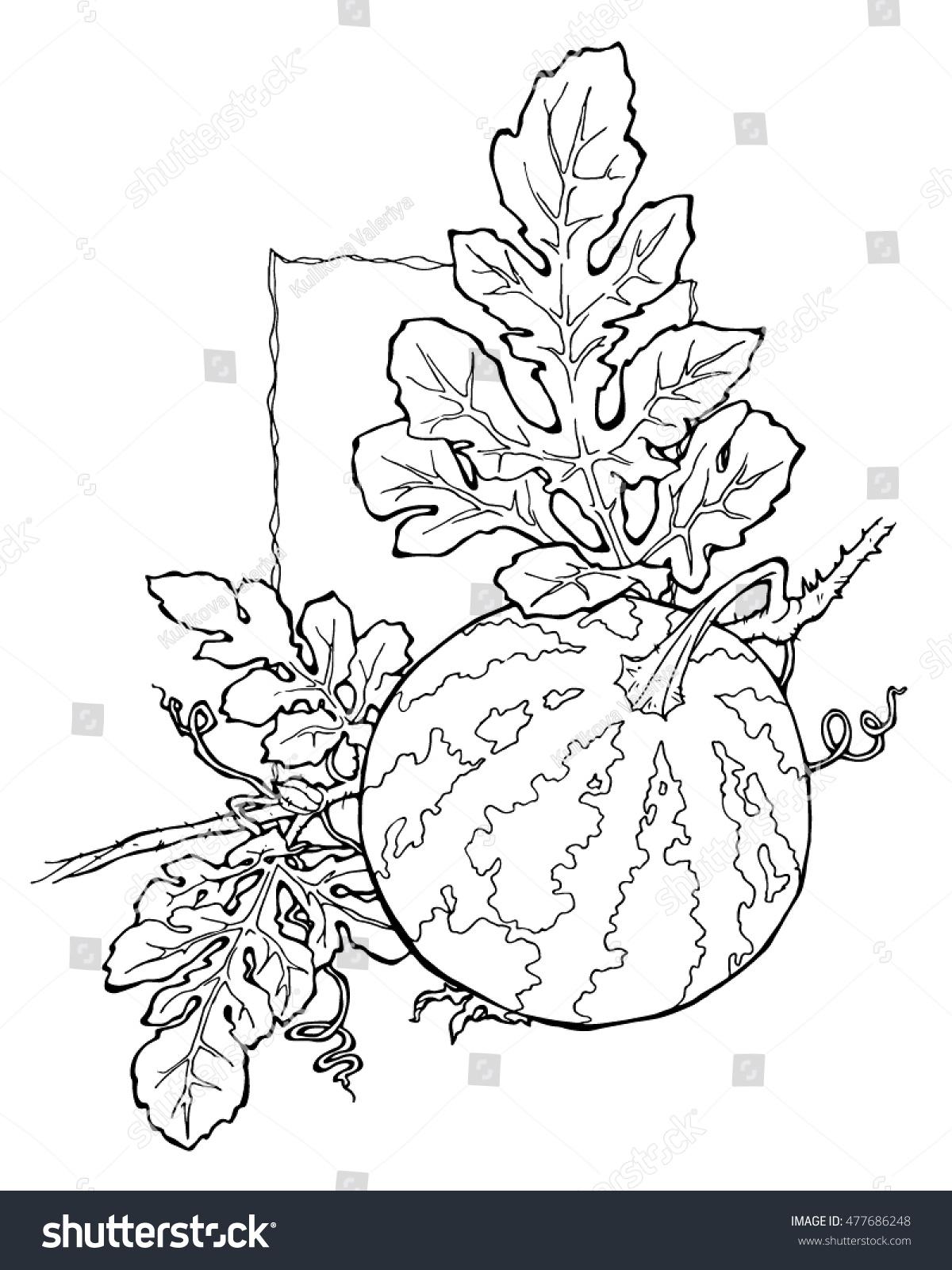 watermelon coloring page - Watermelon Coloring Page
