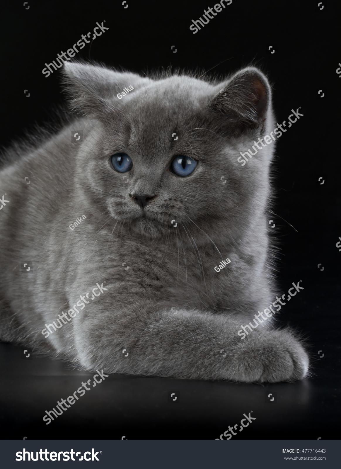 Purebred British Shorthair Blue Kitten Stock