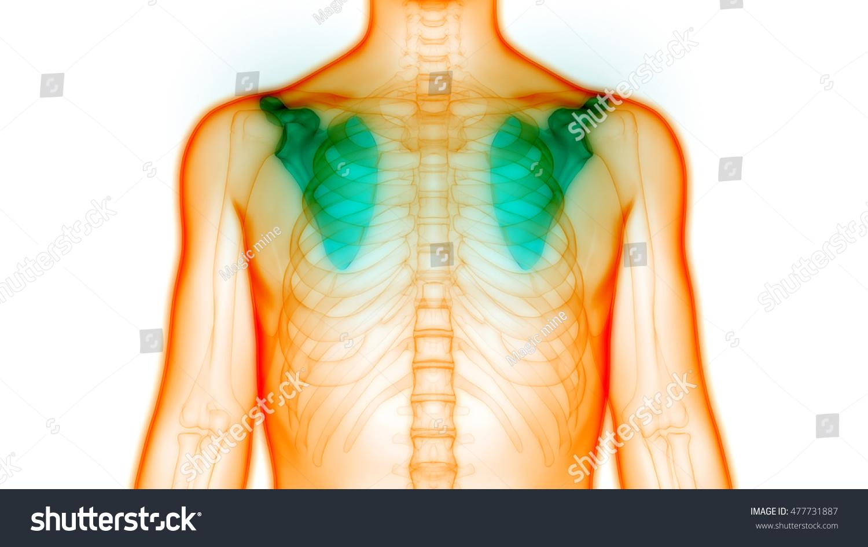 Human Body Bone Joint Pains Anatomy Stock Illustration 477731887 ...