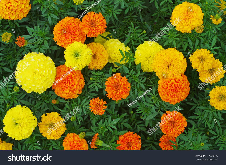 Top View Orange Yellow Colored Marigold Stock Photo Edit Now