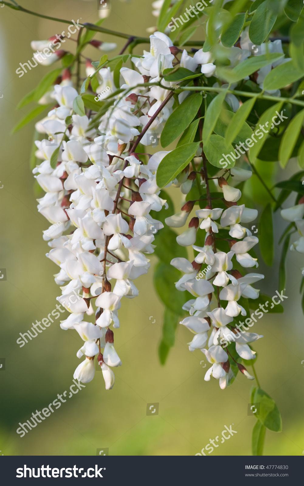 Acacia   tree   Britannica.com