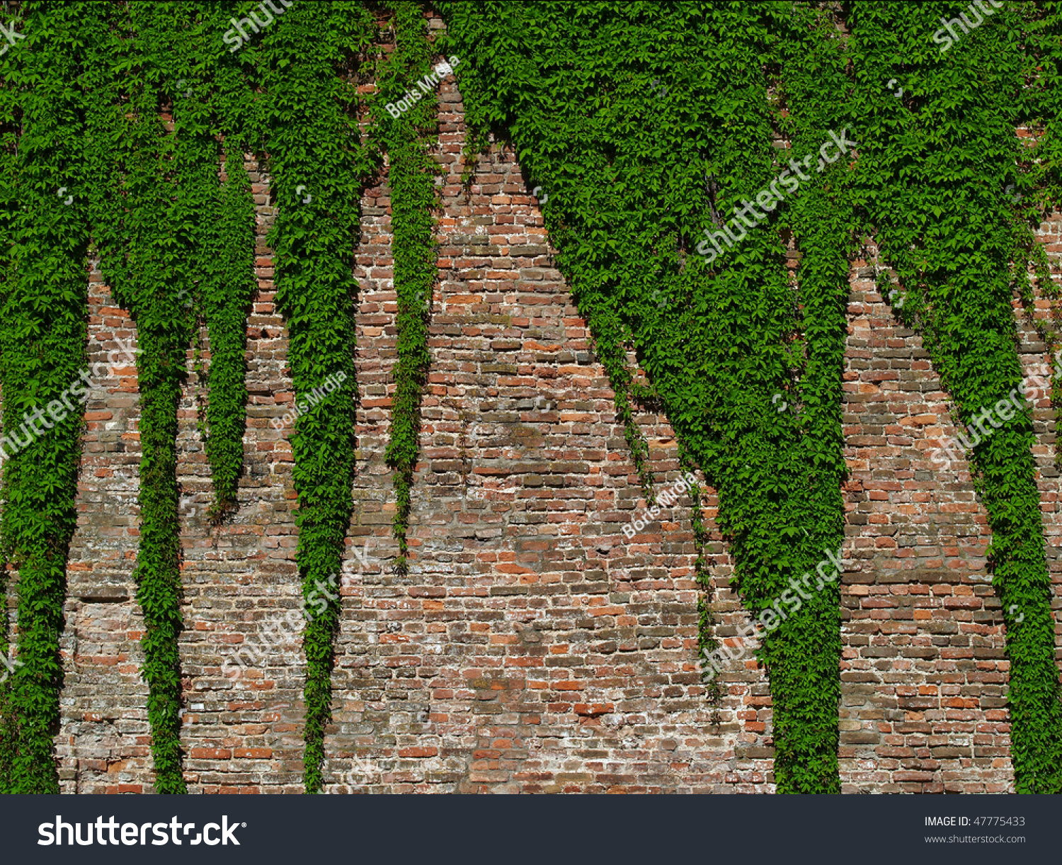 Old Brick Wall Covered Vines Stock Photo 47775433 ...