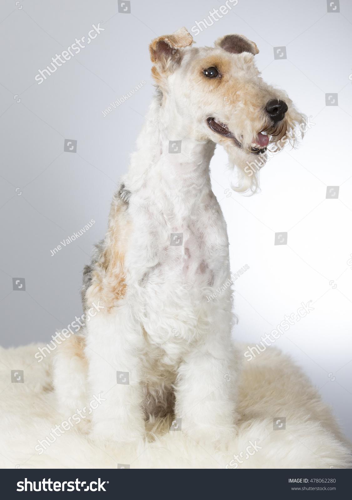 Wire Fox Terrier Portrait Image Taken Stock Photo (Royalty Free ...