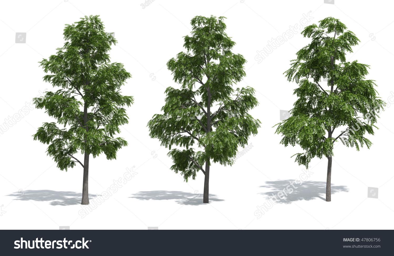 Acacia Trees Isolated On White Background Stock Illustration ...
