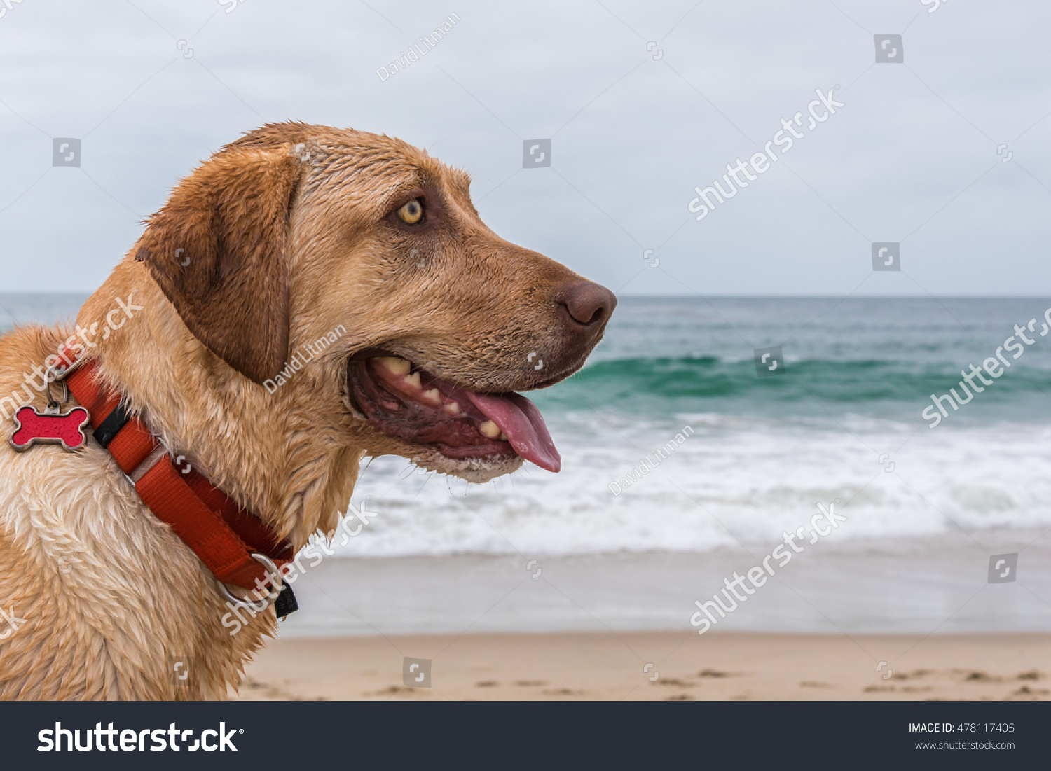 Close up portrait of a beautiful dog (yellow Labrador retriever) posing on the beach in Monterey California on a summer day as the waves splash in the background. Copy space.  Collar and dog tag.