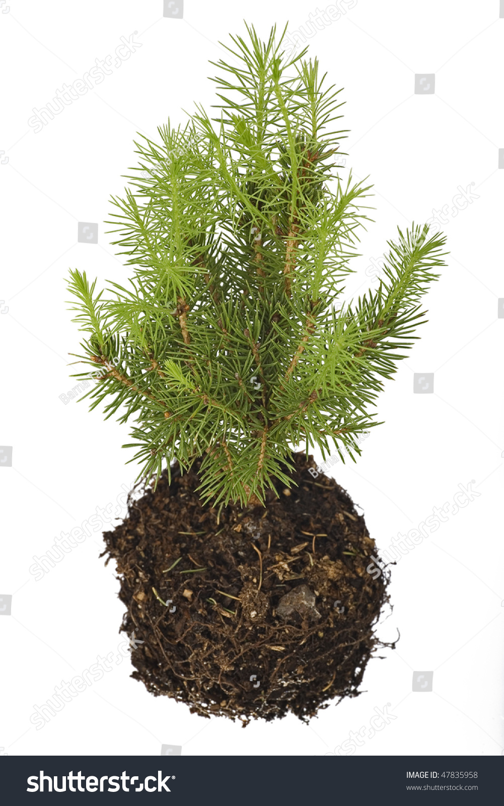 Pine tree seedling isolated on white background stock for Tree sapling