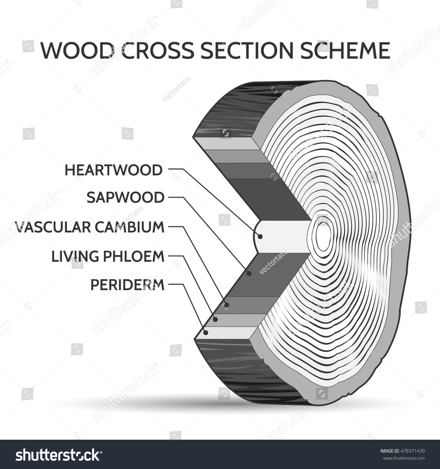 Wood Cross Section Scheme Trunk Tree Stock Vector 478371439 ...