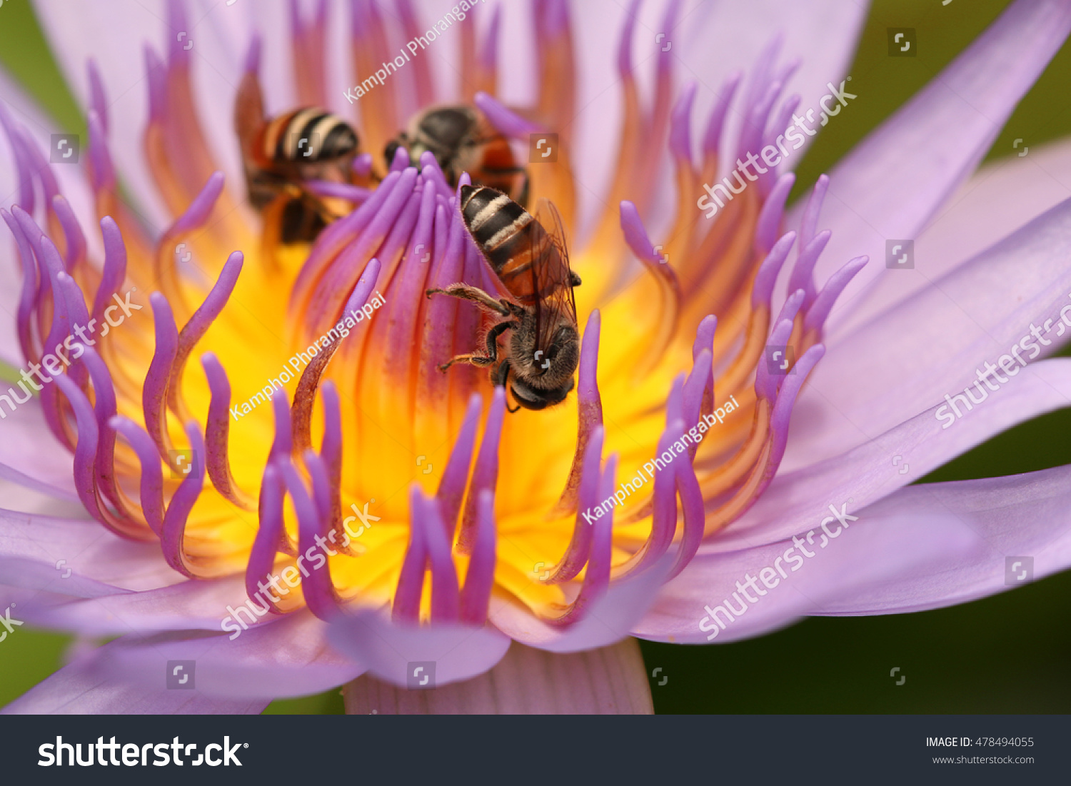 Bee Eating Syrup Lotus Flower Stock Photo Edit Now 478494055