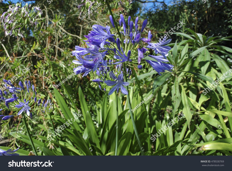 Lily nile agapanthus praecox subsp praecox stock photo 478530769 lily of the nile agapanthus praecox subsp praecox azure bloom izmirmasajfo Images