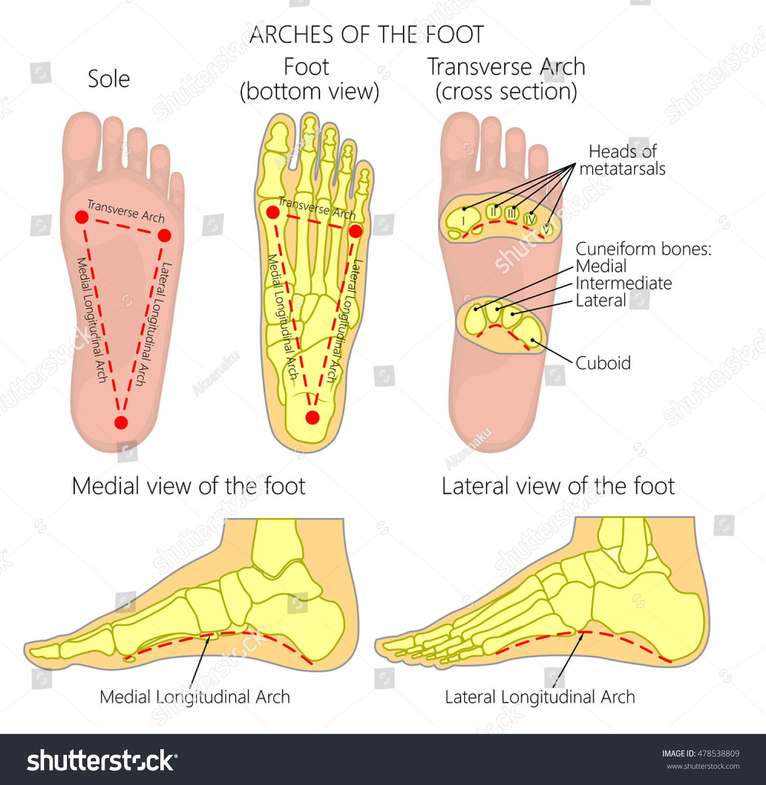 Vector Diagram Arches Foot Medial Lateral Stock Vector (Royalty Free ...