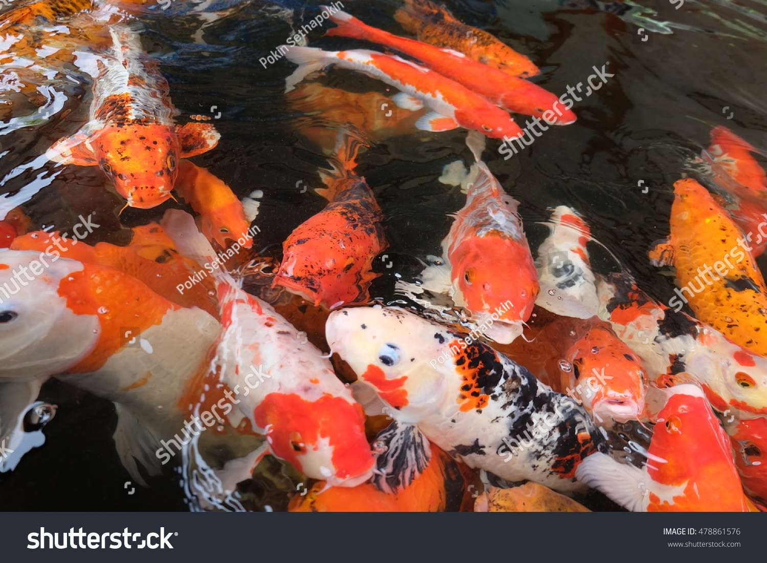 Colorful Fish Carp Fancy Carp Known Stock Photo 478861576 - Shutterstock