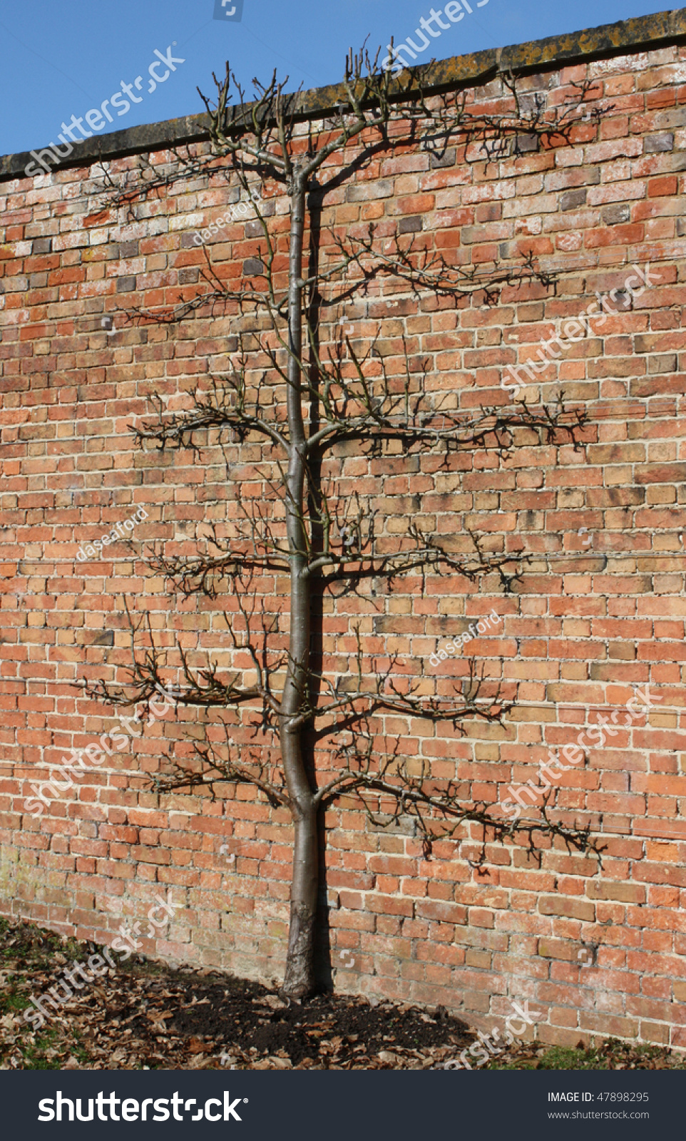 Fruit Tree Wired High Garden Wall Stock Photo (Edit Now) 47898295 ...