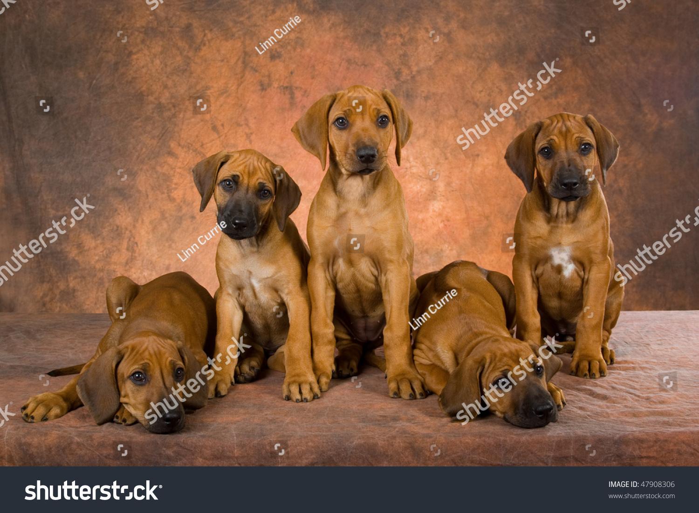 Most Inspiring Rhodesian Ridgeback Brown Adorable Dog - stock-photo--cute-rhodesian-ridgeback-puppies-on-brown-background-47908306  Snapshot_27985  .jpg