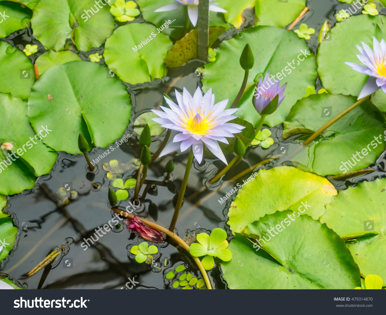 Egyptian Lotus Nymphaea Lotus Flowering Plant Stock Photo Edit Now
