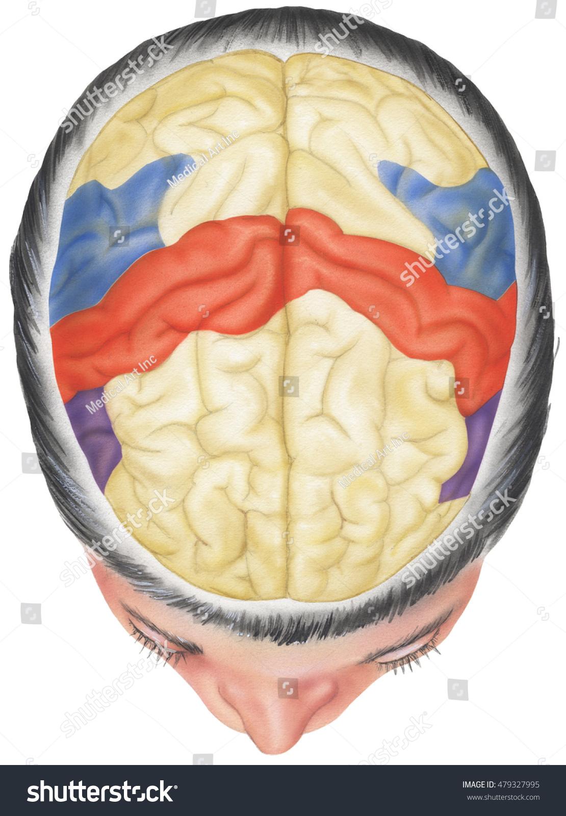 Brain Situ Skull Cutaway Top View Stock Illustration 479327995