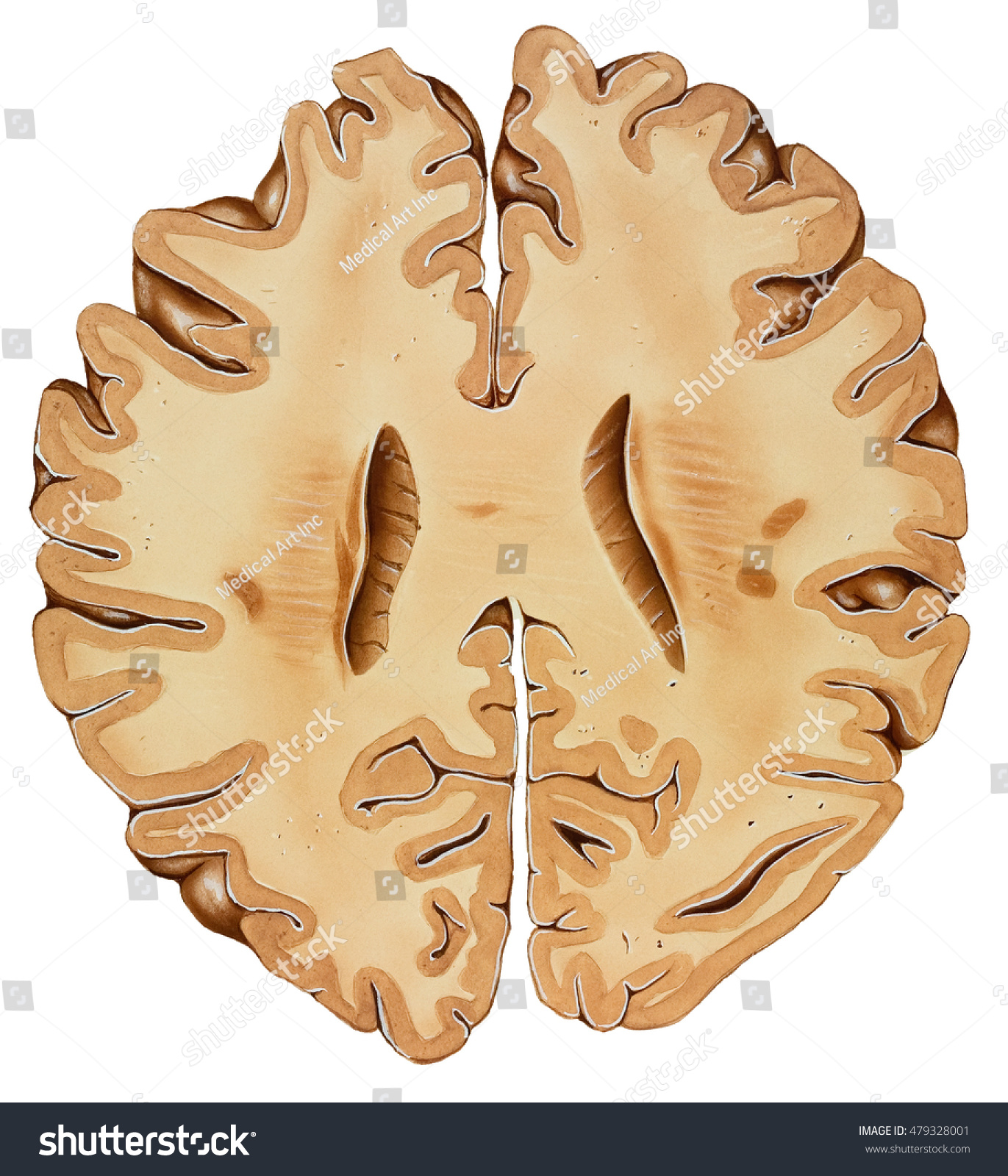 Brain Section Lower Brain Section Top Stock Illustration Royalty