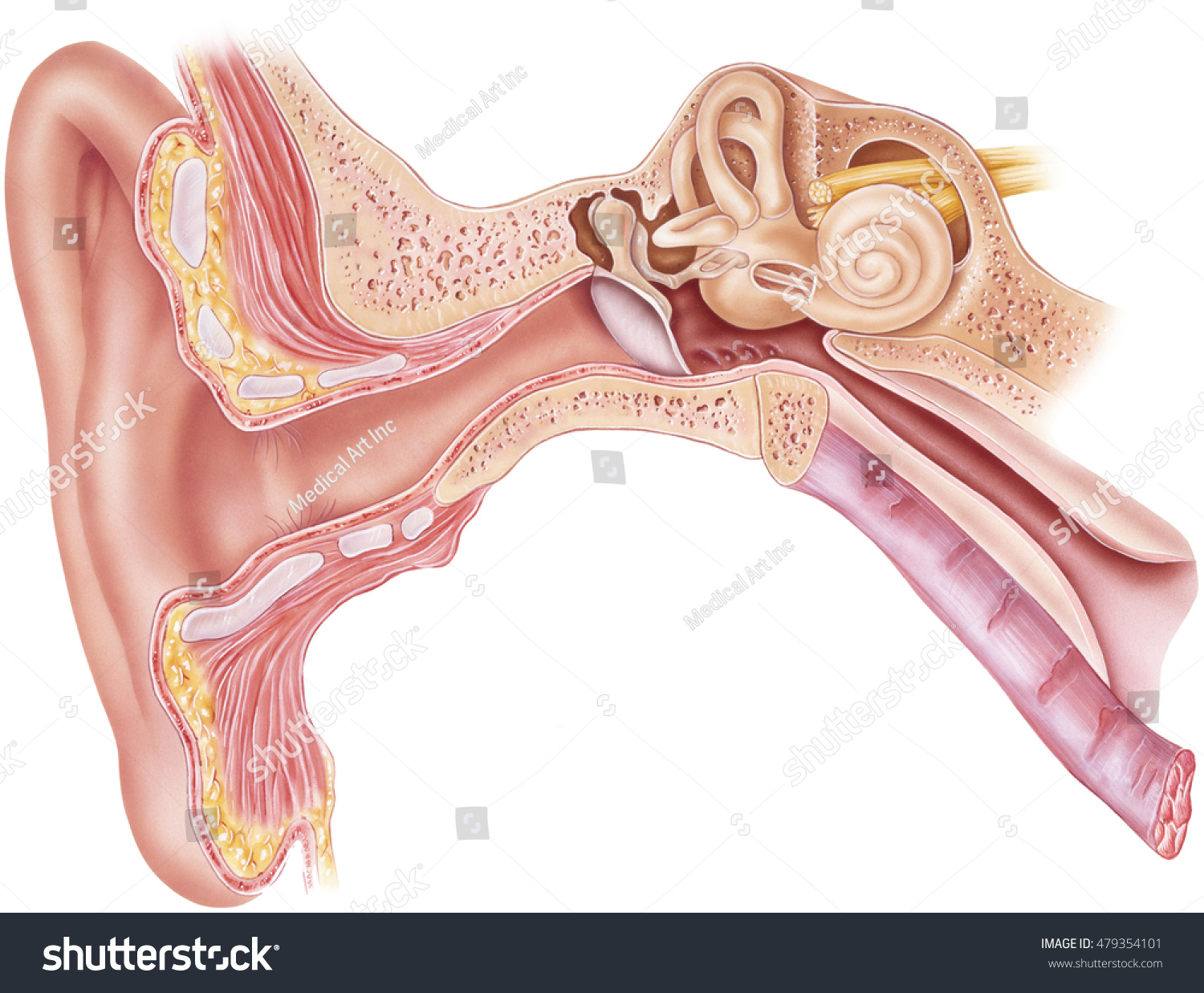 Ear Anatomy Frontal Section Through Right Stock Illustration ...