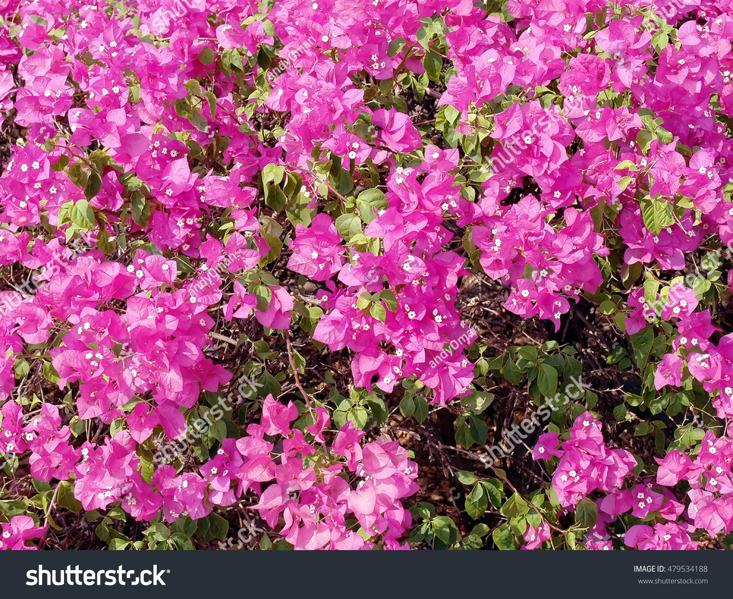 Closeup Blooming Pink Flowers Bougainvillea Background Colorful
