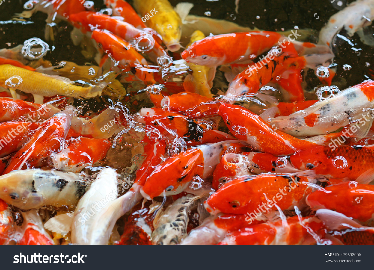 Colorful Fancy Carp Fish Koi Fish Stock Photo (Safe to Use ...