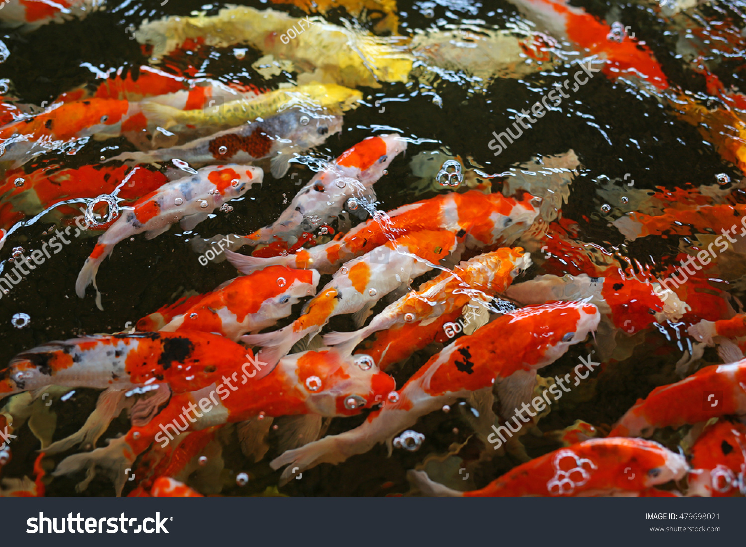 Colorful Fancy Carp Fish Koi Fish Stock Photo 479698021 - Shutterstock