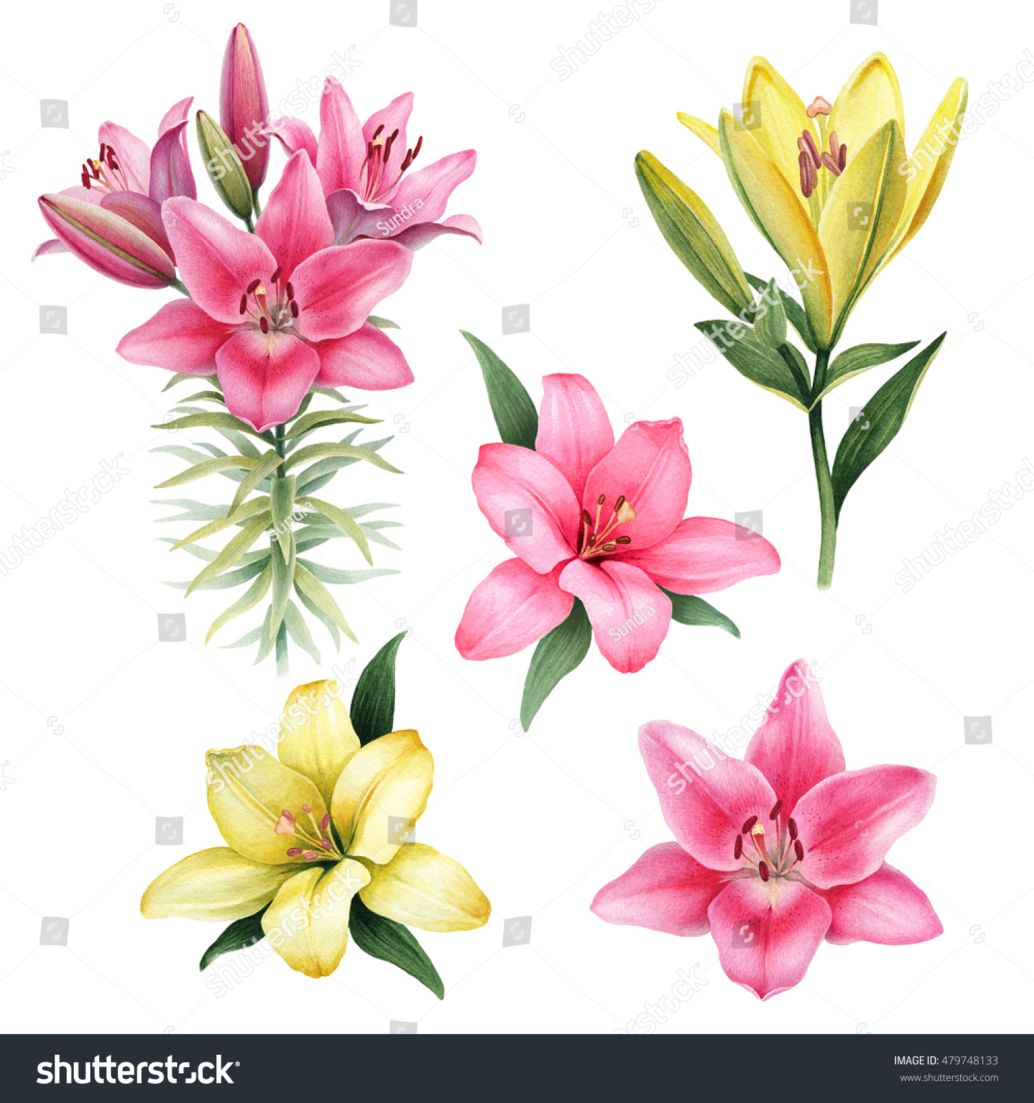 watercolor illustrations lily flowersのイラスト素材 479748133